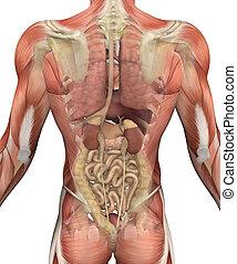 muskeln, oberkörper, -, zurück, mann, organe, ansicht