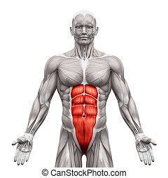 muskeln, rectus, -, freigestellt, abbildung, koerperbau, abdominis, abdominal, weißes, 3d