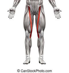 muskeln, sartorius, -, freigestellt, abbildung, koerperbau, weißes, muskel, 3d