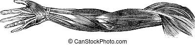Muskeln und Sehnen des menschlichen Arms und der Hand, eingravierte Illustration