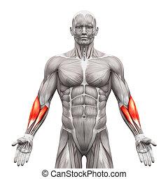 muskeln, unterarm, -, freigestellt, abbildung, koerperbau, weißes, 3d