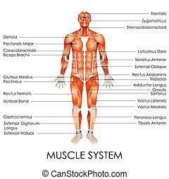 Muskelsystem.