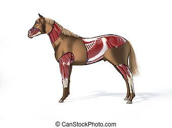 muskulös, pferd, system., anatomy.