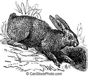 Nördlicher Hare (Lepus Americanus) oder Snowshoe Hare Oldtimer