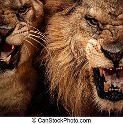 Nahaufnahme von zwei brüllenden Löwen