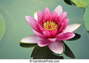 Nahe Lotusblüte
