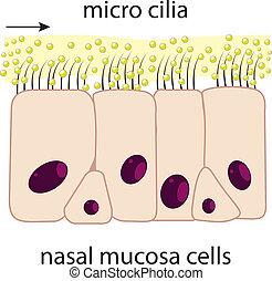 nasal, mucosa