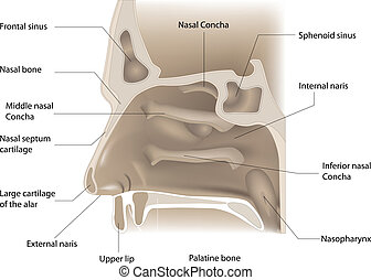 Nasen-Anatomie