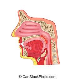 Nasenanatomie isoliert auf weißem Vektor.