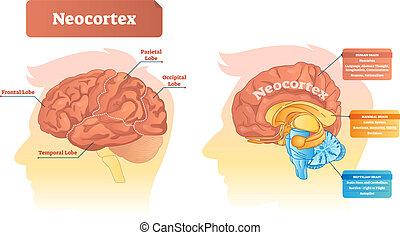 Neocortex Vektorgrafik. Etikettendiagramm mit Ort und Funktionen.