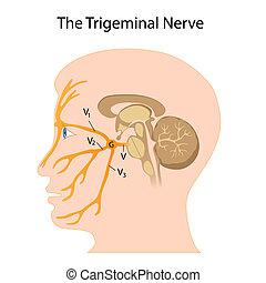 nerv, trigeminal