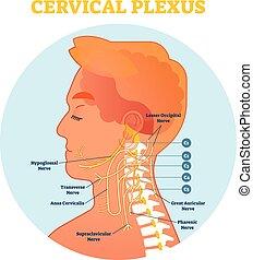 nerv, zervikal, hals, diagramm, plexus, kreuz, abbildung, anatomisch, vektor, schema, section.