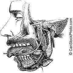 nerv, zweige, weinlese, maxillary, ihr, minderwertig, engraving.