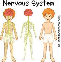 Nervensystem des menschlichen Jungen.