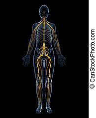 nervensystem, weibliche