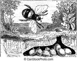 nest, hummel, bombus, terrestris, buff-tailed, weinlese, oder, engraving.
