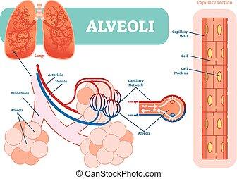 network., lungen, abbildung, anatomisches diagramm, alveolen, vektor, schematisch, kapillargefäß