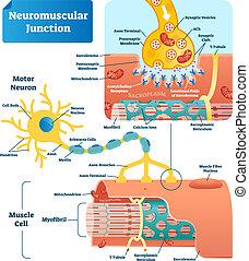 Neuromuskulärer Knoten vektorgrafik. Etiketten infographische