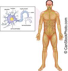 neuron, menschliche