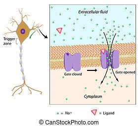 Neuron und lokales Potenzial, Eps10