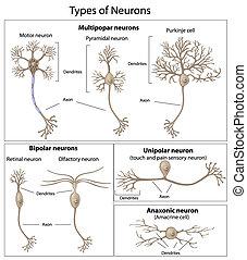 neurons, arten