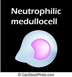 neutrophils., hintergrund., blut, infographics., neutrophils, leukocytes., structure., vektor, zelle, cells., freigestellt, weißes, abbildung