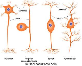 Normale Neuronentypen.