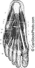 Oberflächenschicht der Fußsohlen, nach der Entfernung der Haut, subkutaner Schicht und Fascia, eingravierte Illustration. Das übliche medizinische Wörterbuch - Paul Labarthe - 1885.