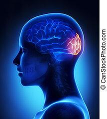 Oczipitallappen - weibliche Gehirn-Anatomie lateraler Ausblick