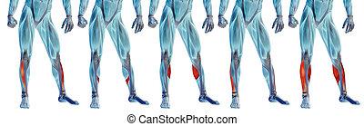 oder, muskel, satz, bein, senken, koerperbau, anatomisch, sammlung, menschliche , 3d