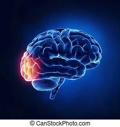 Okzipitallappen - menschliches Gehirn im Röntgenbild