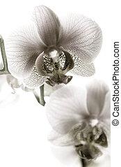 Orchidee schwarz und weiß