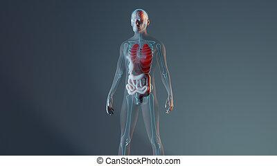 organe, darstellung, intern, menschliches skelett, mann, koerperbau