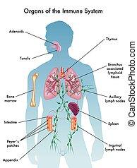Organe des Immunsystems.