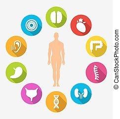 organe, intern, silhouette, menschliche , mann