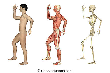 overlays, gebogen, bein, -, anatomisch, mann, arm