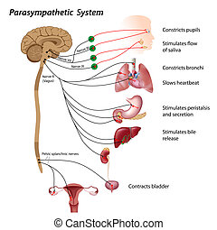 Parasympathisches System.