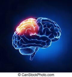 Parietallappen - menschliches Gehirn im Röntgenbild