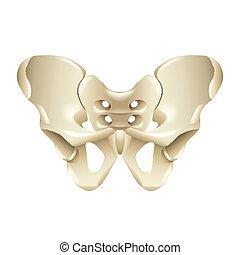 Pelvis Knochen isoliert auf weißem Vektor.