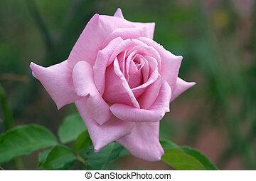 Perfekte rosa Rose.