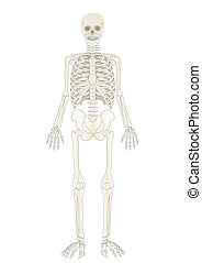 person, skelett, vektor