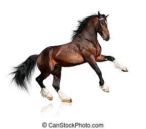 pferd, bucht, weißes, freigestellt