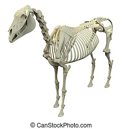 pferd, skelett, -, freigestellt, koerperbau, weißes, equus