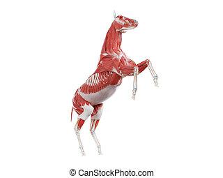 pferdeartig, muskel, -, system, koerperbau