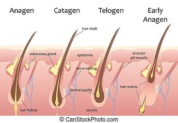 phases., catagen, menschliche , wachstum, haar, biologisch, infographics., telogen, cycle., kopf