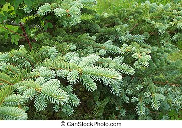 Pine-Bough-Landescap