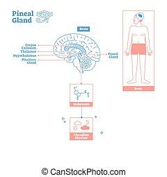 pineal, wissenschaft, drüse, abbildung, endokrin, system., vektor, medizin, diagram.
