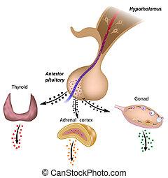 pituitär, äxte, hypothalamic