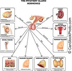 Pituitäre Drüsenhormone