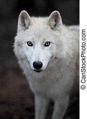 Polar Wolf (Canis lupus arctos) aka Polar Wolf oder Weißer Wolf - Nahaufnahme des schönen Raubtiers.